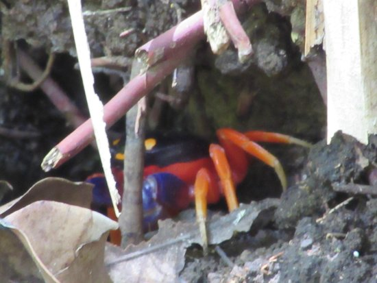 Playa Manuel Antonio: Halloween Crab
