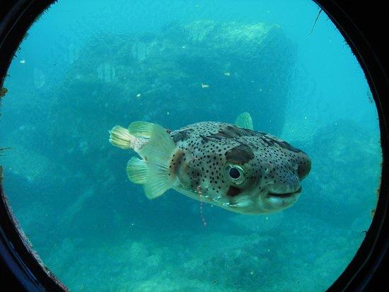 Kushimoto Marine Park Undersea Tower : ハリセンボンがこんにちは