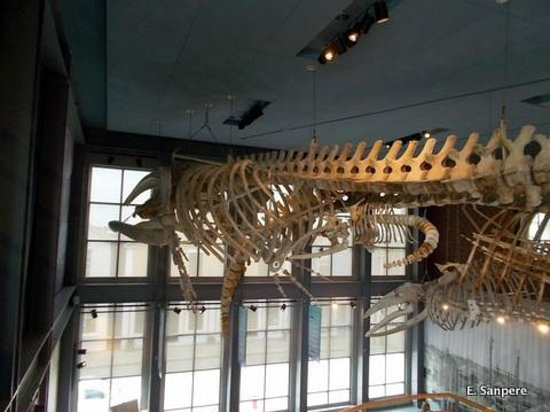 New Bedford Whaling Museum : Whale skeletons