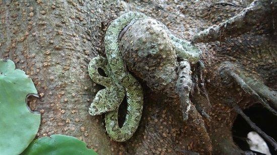 Guaria de Osa Ecolodge: Viper at Corcovado National Park