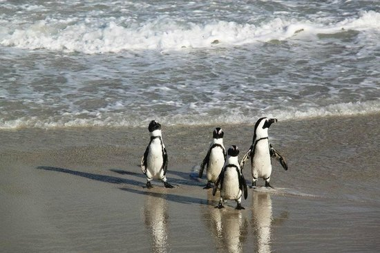 Boulders Penguin Colony: It was so amazing watching the penguins swept off by the tides and walking back up the shore