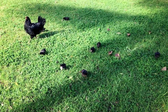 Taura'a Hotel: Friendly chicken and her peeps