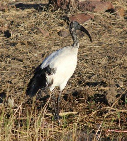 Chobe River Camp: African Sacred Ibis