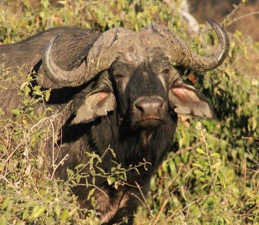 Chobe River Camp: Buffalo