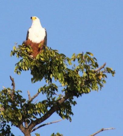 Chobe River Camp: Fish Eagle