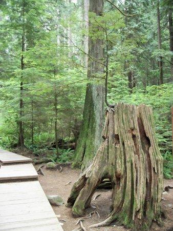 Lynn Canyon Park : A tree growing on a dead tree
