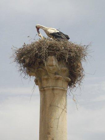 Volubilis - stork nest