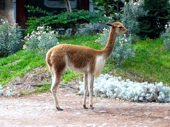 Hotel Majoro: vigogne dans le jardin