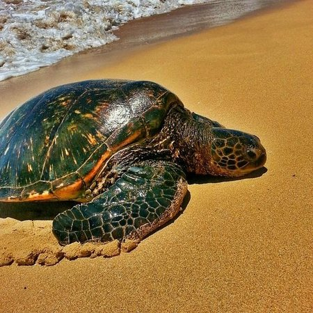 Laniakea Beach: These turtles could be seen in the water and occasionally on the beach.