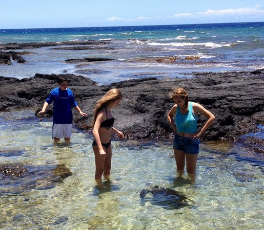 Puako Bay: Curious turtle investigates my kids! 7 more swim by!!