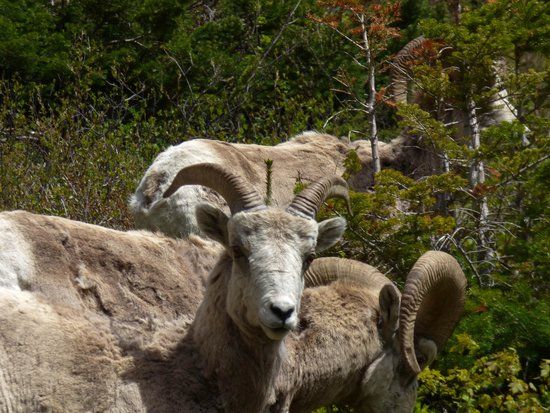 Upper Waterton Lake : Curious Mountain Side Occupant