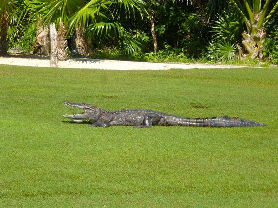 Big Croc on the golf course - Picture of Moon Palace Cancun, Cancun Cancun Golf Courses Map on
