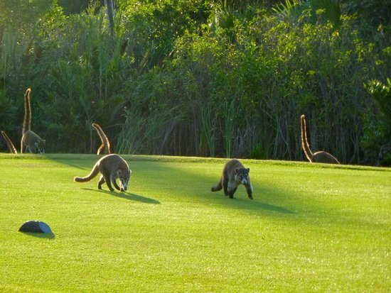 Coati Everywhere On The Golf Course Picture Of Moon