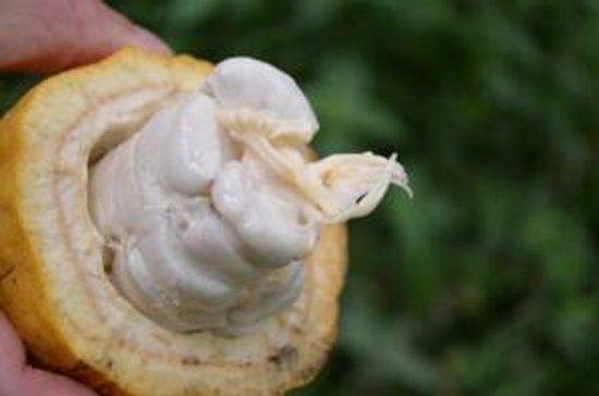 Agouti Cacao Farm : open Cacao pods with white beans