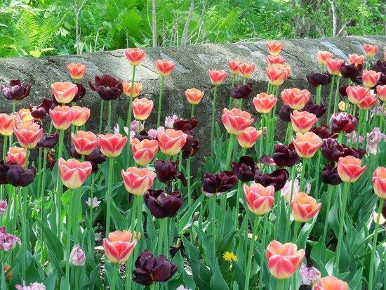 Whitnall Park: springtime tulips