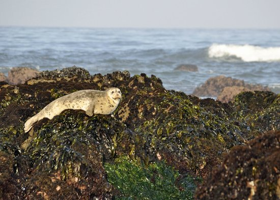 Moonstone Cottages: Pacific Otter