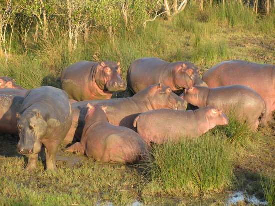 Parc de la zone humide d'iSimangaliso : Zonnende nijlpaarden