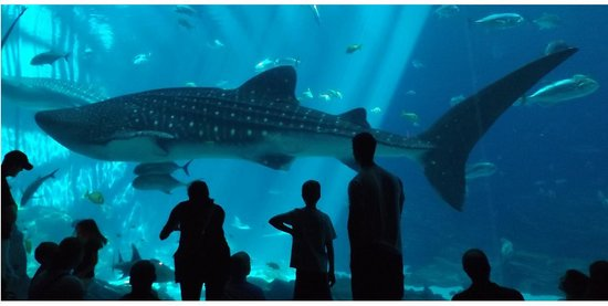 Georgia Aquarium : One of the four Whale Sharks cruises by the huge acrylic wall