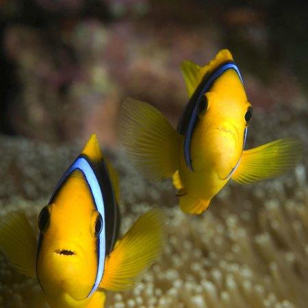Dive Wananavu: Clown fish pair