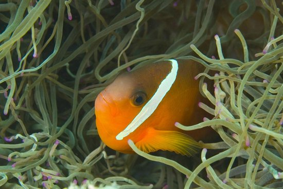 Dive Wananavu : I found Nemo!