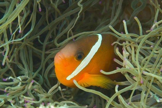 Dive Wananavu: I found Nemo!