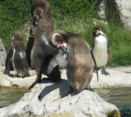 "Tiergarten Schönbrunn - Zoo Vienna: Пингвины. Объект фанатизма младшего поколения. У нас период ""Лоло и Тото"", а также ""Делай ноги!"""