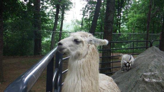 Tweetsie Railroad : LLAMA of the petting zoo