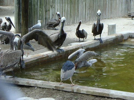 Seaside Seabird Sanctuary : Pelicans at Suncoast Seabird Sanctuary, they had TONS of them.