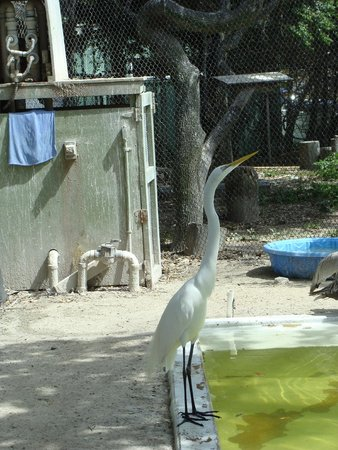 Seaside Seabird Sanctuary : Egret at Suncoast Seabird Sanctuary