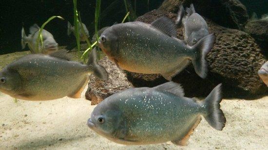 Birdworld: The chilled out Piranhas in the aquarium...