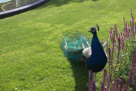 Jardins de Tivoli : Ordinary peacock