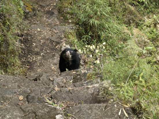 Inca Trail: Osezno bajando  camino inca hacia Machupicchu
