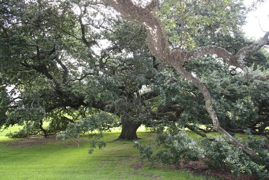 Louisiana's Old State Capitol: Gorgeous 500 year old oak!!