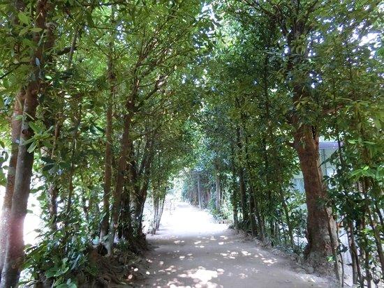 Bise Fukugi Tree Road : フクギ