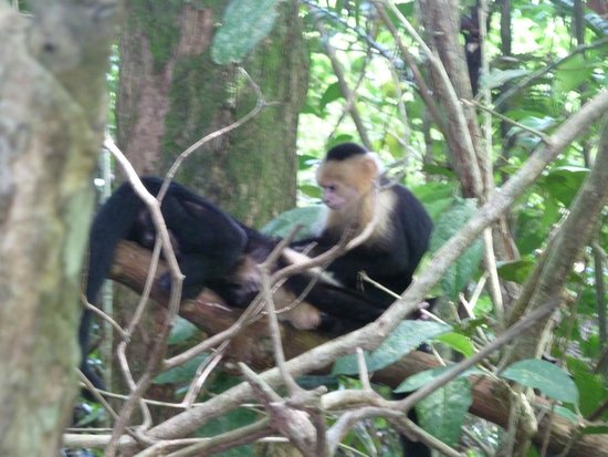 Johan Chaves - Nature and birding Tours: Pair of monkeys