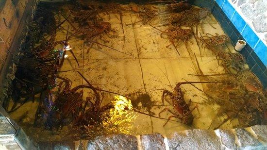 Skipjack's Seafood Grill, Bar & Fish Market : Live Lobster Tank on property at SkipJacks