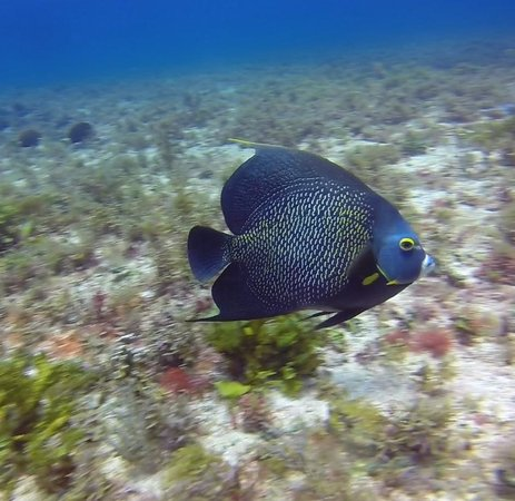 Solo Buceo : Angelfish photographed on the La Loso dive