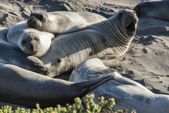 San Simeon State Park: leoni marini sulla spiaggia