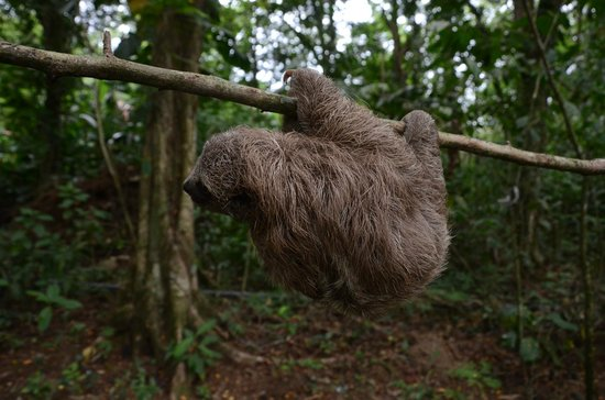 Proyecto Asis: Baby 3 toed sloth