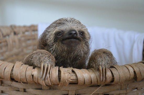 Proyecto Asis: Baby Sloth thinking