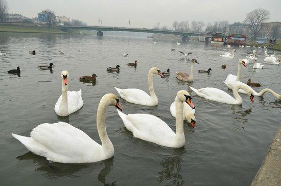 Historic Old Town: лебеди на реке Висла