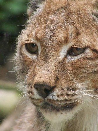 Zoo Duisburg : Lynx