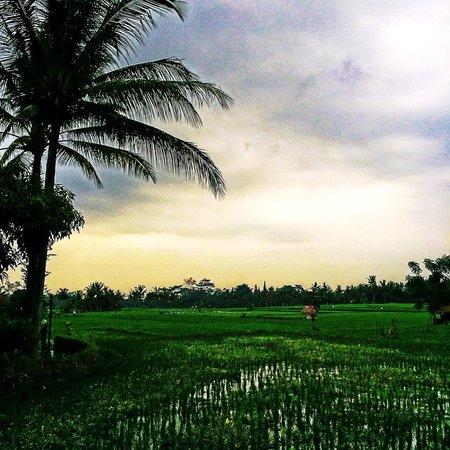Tegal Sari: Rice Paddy View
