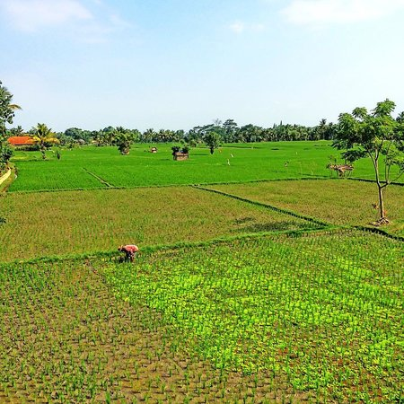 Tegal Sari: Rice Paddy View from the villa's terrace