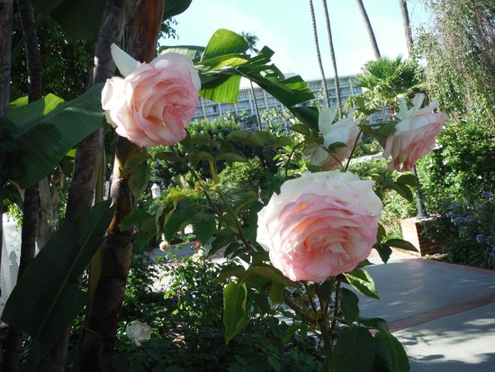 Town and Country San Diego : Beautiful roses everywhere you look!