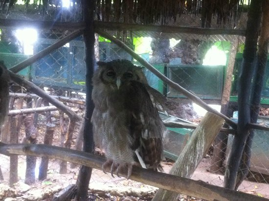 Falconry of Kenya : Сова
