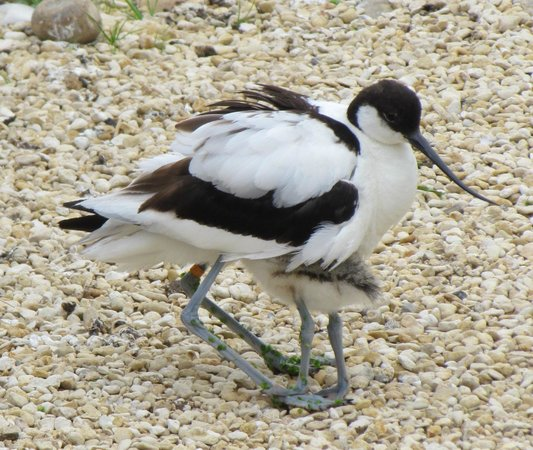 WWT Slimbridge Wetland Centre: Avocet and one of her chicks