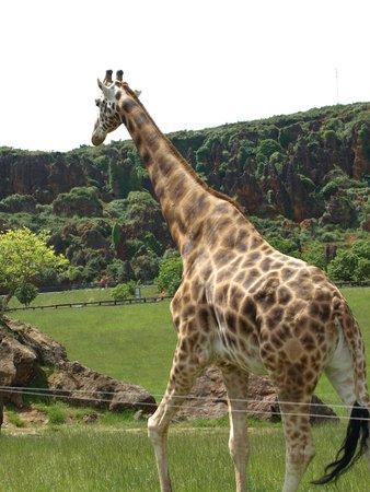 Parque de la Naturaleza de Cabárceno: Jirafas