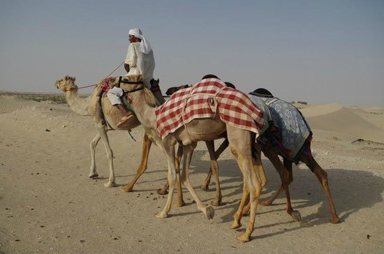 Desert Rose Tourism - Day Tours: Camels in the desert near Abu Dhabi on the Jeep Safari