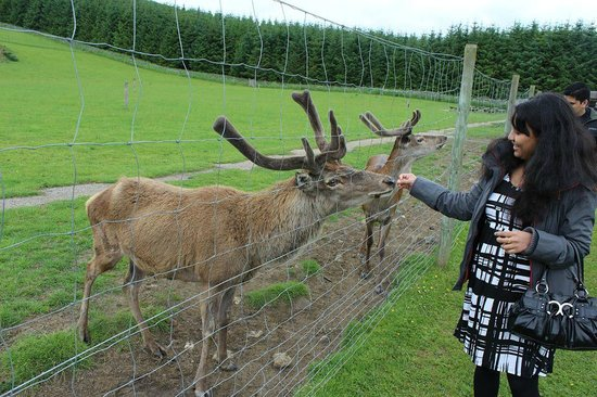very friendly and safe deer the North East Falconry Centre ..